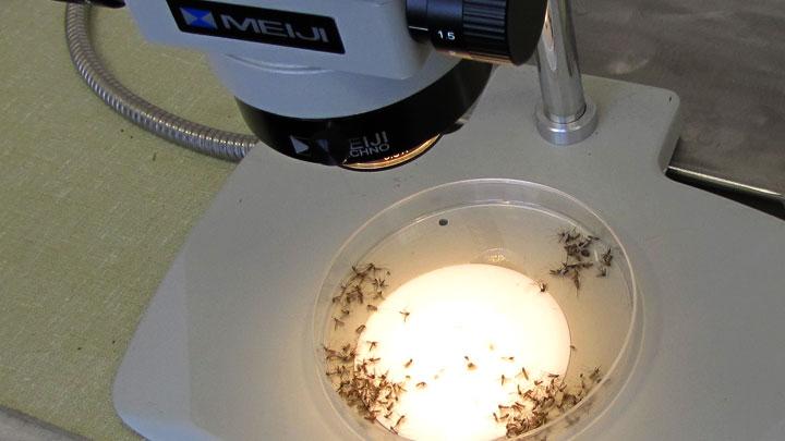 Бунт комаров-мутантов: Масштабный эксперимент с насекомыми пошёл не по плану