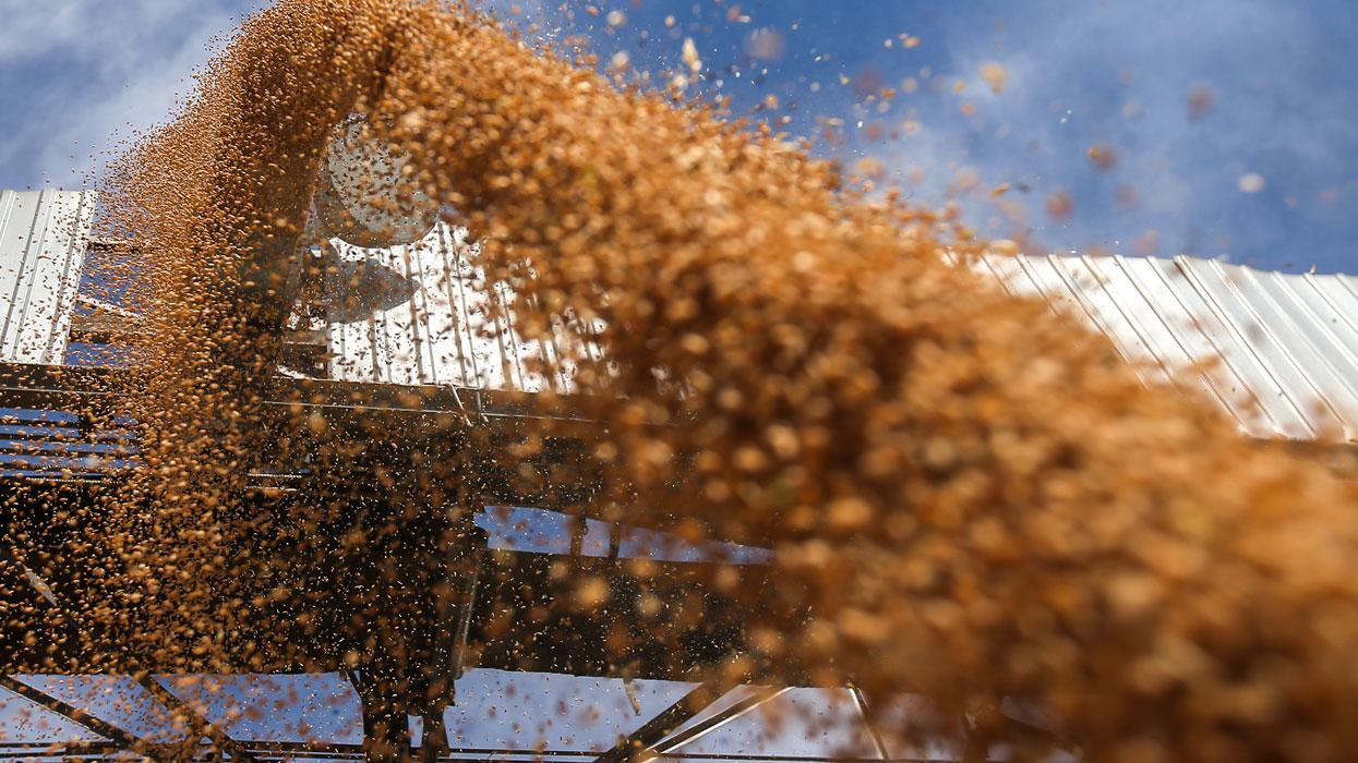 Выгрузка зерна для сушки на предприятии