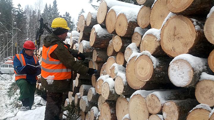 Кто вырубает русский лес? Часть 2: А вы рубите, мужики, как хотите!